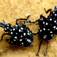 Young Nymphs