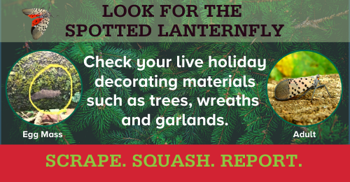 Graphic of message to inspect live holiday decorative material for the spotted lanternfly